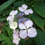 Hydrangea serrata 'Bluebird' (Hydrangea serrata)