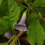 Blue Iochroma australis (Iochroma australis)