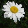 Leucanthemum 'Little Miss Muffet' 1 (Leucanthemum 'Little Miss Muffet')