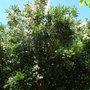 Luma apiculata (Luma apiculata)