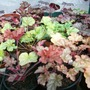 My Heuchera seedlings