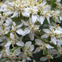 Olearia x haastii - close-up (Olearia x haastii)