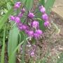 Allium_cernuum_2014