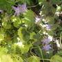 Campanula garganica (Adriatic bellflower)