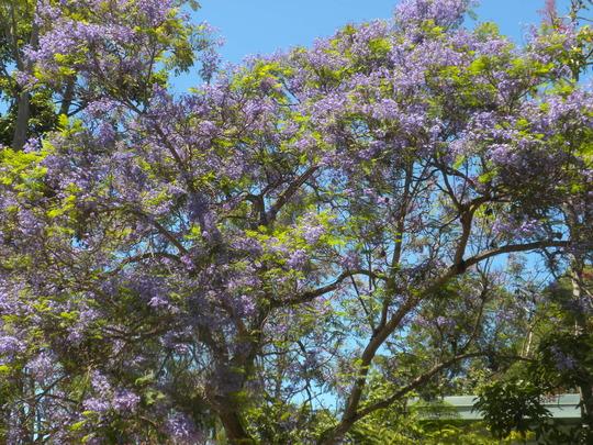 Jacaranda mimosifolia - Jacaranda Blooming (Jacaranda mimosifolia)