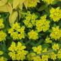Polychroma (Euphorbia polychroma)