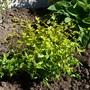 Abelia x grandiflora 'Kaleidoscope' (Abelia x grandiflora (Abelia))