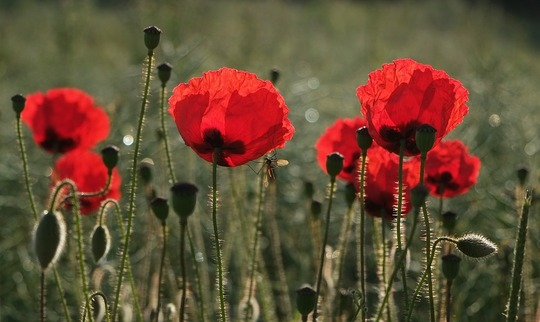 Wild field poppies