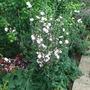 Cichorium intybus 'Roseum' (Cichorium intybus)