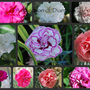 A few of the Dianthus growing at the moment... (Dianthus Memories..)