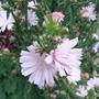 Cichorium_intybus_roseum_close_up