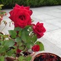 My niece gave me this rose as a gift in a pot for indoors I then put it outdoors and look at it now !