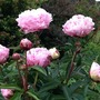 My peony it's been in this spot for 25 years and still doing well !
