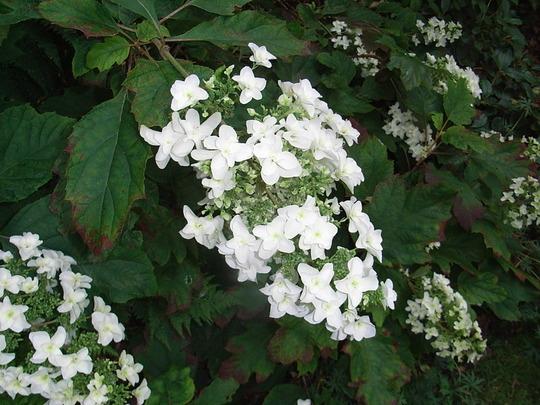 Hydrangea quercifolia 'Snow Flake' (Hydrangea quercifolia)