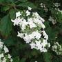 Hydrangea_quercifolia_snow_flake_