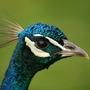 Peacock_head