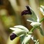Salvia discolor (Salvia discolor)