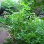 comfrey (Symphytum asperum (Prickly Comfrey))