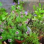 thyme on the table (Thyme, several varieties)
