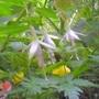 Fuchsia 'Hawkshead'