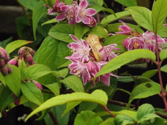 Deutzie Strawberry Fields (Deutzia x hybrida 'Strawberry Fields')
