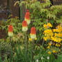 Kniphofia and Primula (Kniphofia caulescens)