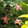 Aquilegia_spring_magic