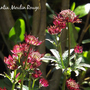 Astrantia Moulin Rouge (Astrantia Moulin Rouge)