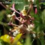 Lonicera x italicum Harlequin (Lonicera x italicum)