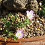 Geranium cinereum Lizabeth (Geranium cinereum (Hardy geranium))