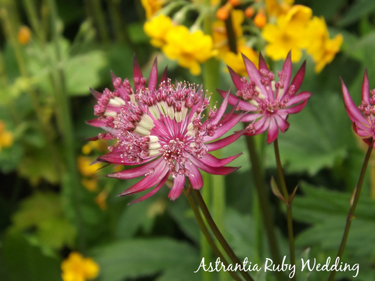 Astrantia major Ruby Wedding (Astrantia major)