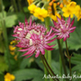 Astrantia_ruby_wedding