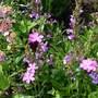 Dianthus carthusianorum mingling (Dianthus carthusianorum (Clusterhead Pink))