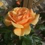 Rosa_easy_abundance