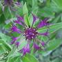 Centaurea_montana_amethyst_dream