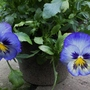 Pansy '' Bluebird '' Jun 2014 (Viola)