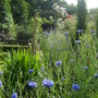 Swathe of cornflowers