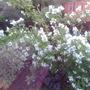 Philadelphus Belle Etoile in full bloom