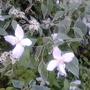 Philadelphus silver showers mingling with Cornus alternifolia