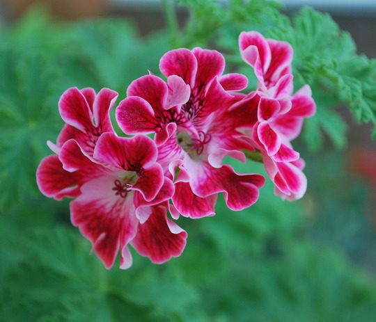 Pelargonium Madam Nonin... (Pelargonium Madam Nonin (unique))