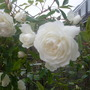 Climbing_rose_iceberg_jun_2013