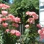 Pink Floribunda Rose