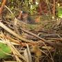 Nest in my Clematis 'Lasurstern'. Wren or Robin? 19 June