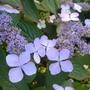 Hydrangea_serrata_bluebird_close_up_2014