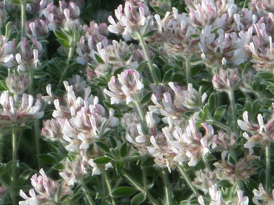 Lotus Dorynium hirsutum