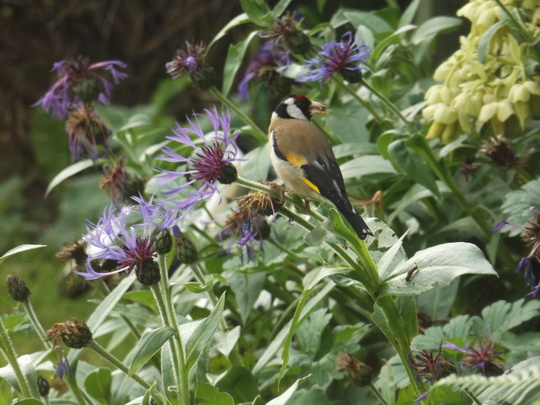 Goldfinch on the Cornflowers.