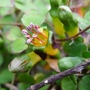 Fuchsia_procumbens_2014