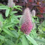 Trifolium rubens (Trifolium rubens (Red Trefoil))