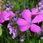Dianthus carthusianorum (Dianthus carthusianorum (Clusterhead Pink))