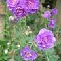 Geranium_pratense_flore_pleno_